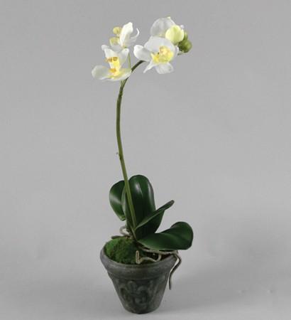 Phalaenopsis 36cm