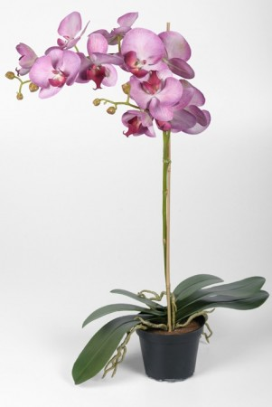 Phalaenopsis 60cm lilla