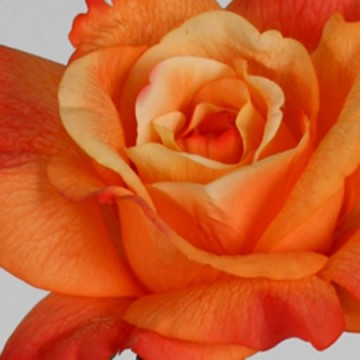 Rose 70cm Real Touch Oransje